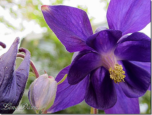 Columbine_Margy_Closeup