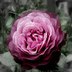 purplerose-fbw.jpg