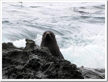 Peek a boo. Kekeno or NZ Fur Seals basking on the rocks along the Kaikoura coast.