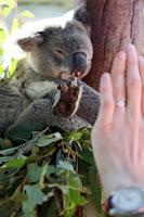 Koala high five