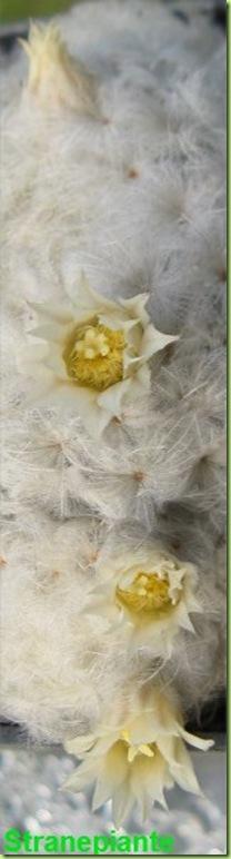 fiori Mammillaria plumosa