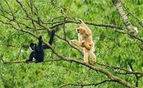 Amazing Pictures of Animals, Photo, Nature, Incredibel, Funny, Zoo, Gibbons, Hylobatidae, Primate, Mammals, Alex (17)