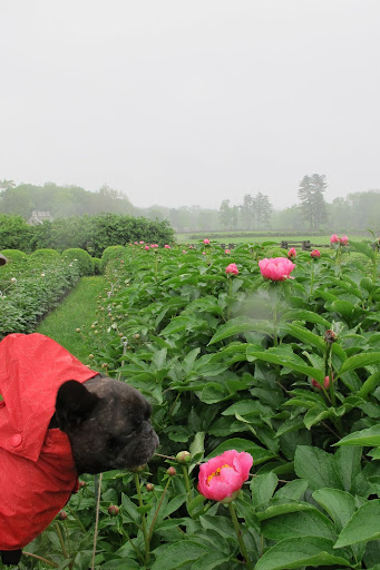 Sharkey, most flowers just don't like to get wet and these delicate peonies won't last too long in this rain.