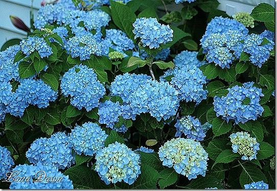 Hydrangea_Nikko_June