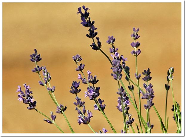 110710_Mt_Shasta_Lavender_Farm_83