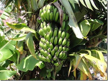 ハワイ島バナナ