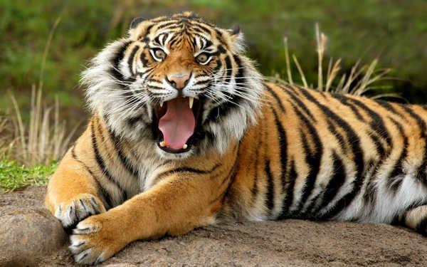1- Listras de tigres são como impressões digitais humanas