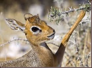 Amazing Pictures of Animals photo Nature, exotic, funny, incredibel Zoo, Dik-dik, antelope. Alex (12)
