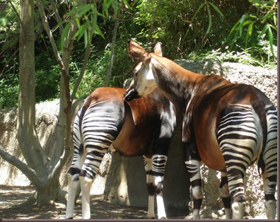 Amazing Animal Pictures Okapi (13)