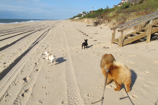 What a beautiful day at the beach in East Hampton!  Smell that salt water, Franny!  And feel the fresh air in your thick fur, G.K.!