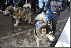 Malamutes.....Are these the Alaskan Representatives?