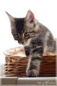 Фото история котят мейн кун в возрасте 7,5 недель 25