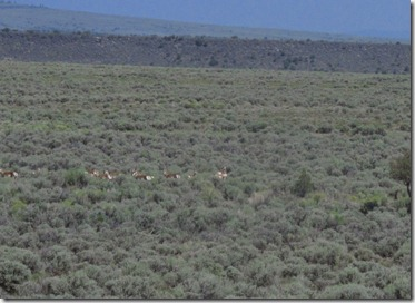 519 pronghorns (640x465)
