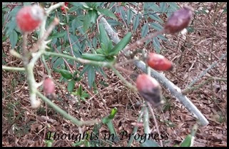Rose pods at Thoughts in Progress