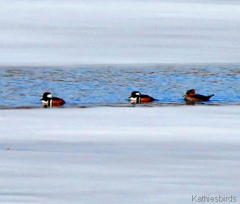 8. hooded mergansers-kab