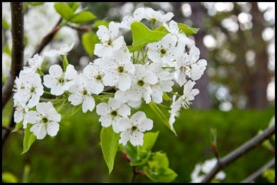 Bradford pear tree flower in bloom