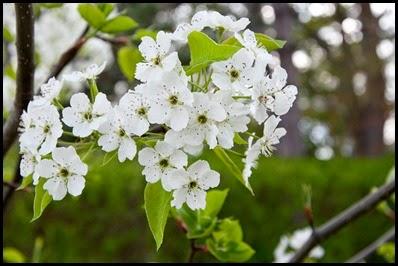 Bradford pear tree flower in bloom