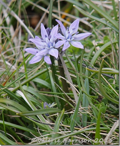 9-Spring-Squill