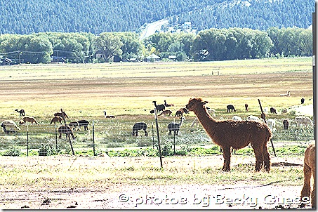 10-05-11 alpacas near Mora 01