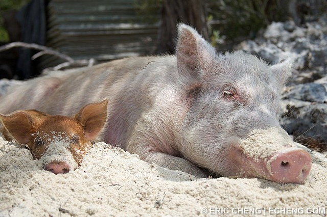 pigs-of-bahamas-5