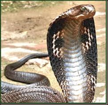 Amazing Pictures of Animals. Poison, Dangerous.2.King Cobra.Alex