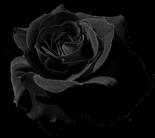 el jardin de rossy rosas negras png vector rose background vector rose pattern