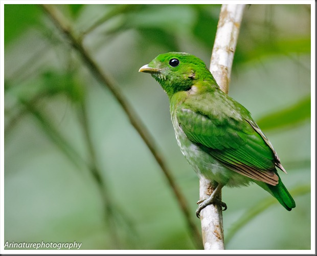 Green BB(f)3