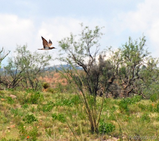 4. booby in desert-kab