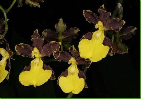 OR Oncidium hyphaematicum