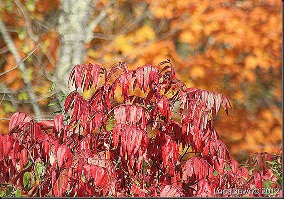 CF_Autumn_Sumac