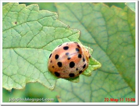 Kumbang Koksi 'Twentyeight-spotted Potato Ladybird' (Henosepilachna vigintioctopunctata) 01