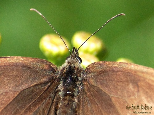 butterfly_20110716_brown2a