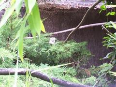 2011.08.07-008 kookabura