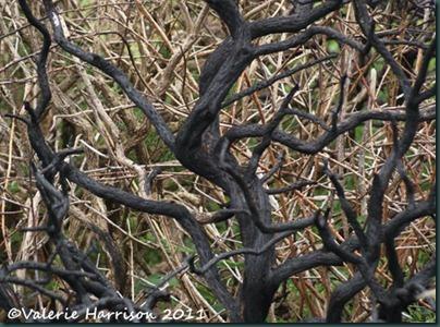 46-burnt-gorse