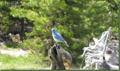 MountainBluebird