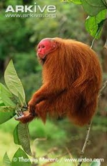 Amazing Pictures of Animals, photo, Nature, exotic, funny, incredibel, Zoo, Cacajao Calvus, Blad Uakari, Primate, Mammals, Alex (9)