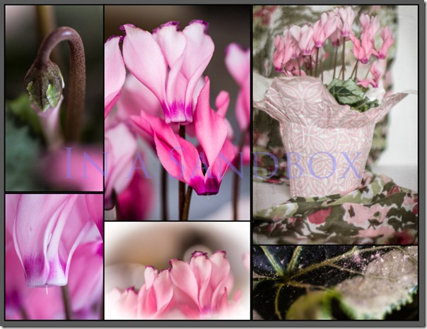 Cyclamen collage