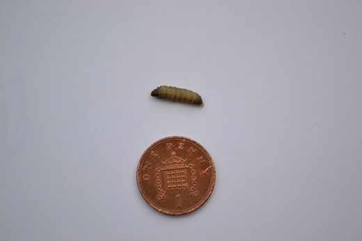 Wax moth larvae