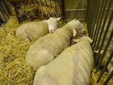 2015.02.26-003 mouton Ile-de-France