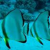 Plataks okraglopletwy - Circular batfish (Spadefish) - Platax .jpg