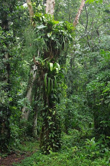 Chemin dans la forêt. Caçandoca (Ubatuba, SP). 11 février 2012. Photo : J.-M. Gayman