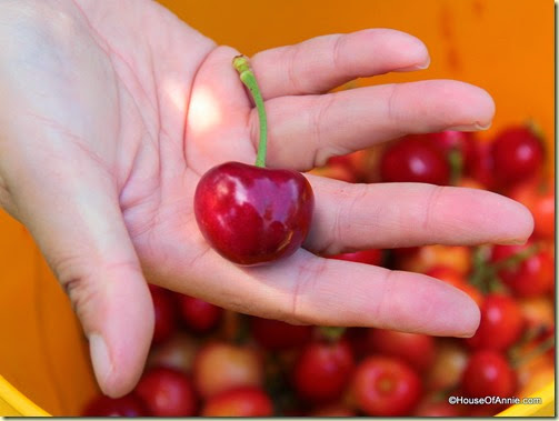 Pro-tip: Be selective, skip the smaller cherries and pick the biggest ones.