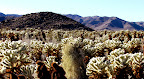 Cholla cactus in Joshua Tree National Park (photo by Bob Moore)