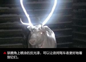 芬兰在驯鹿角上喷涂反光漆 防止夜间被车撞