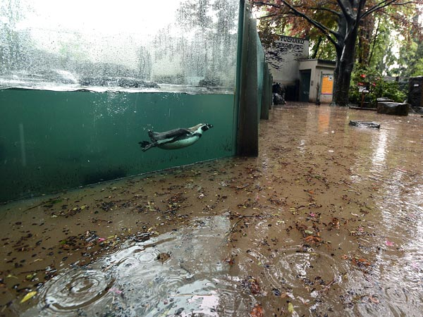 A Humboldt penguin at the Prague Zoo gets an interesting view from his tank as waters from the Vltava River continue to rise, 6 June 2013. Officials have estimated that the zoo has now sustained more than 160 million koruna ($8.1 million) in damages, according to CNN. Photo: Katerina Sulova / CTK / Zuma Press