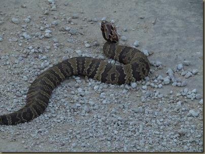 snake...pgmy rattler?