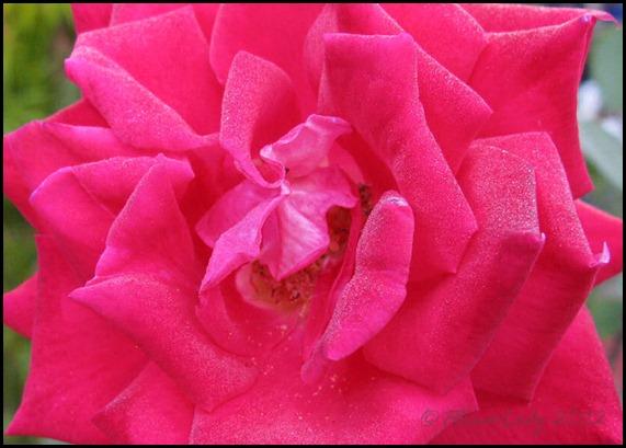 01-20-love-rose2