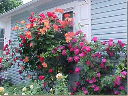 pk rose