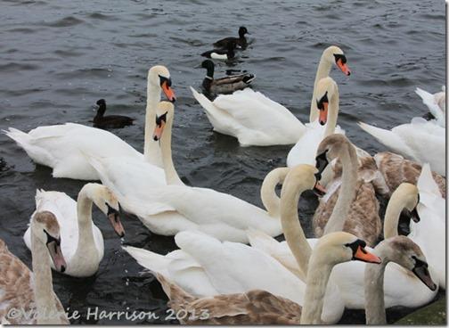 32-swans