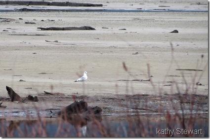Mew Gull - 2nd Winter